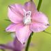 Pink Delphinium, 4.26.18