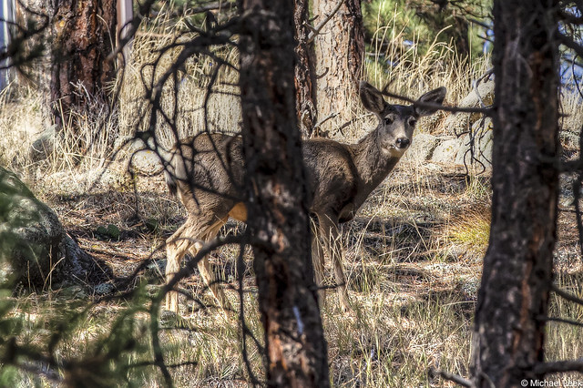 White-tailed deer; Gold Hill Road, west of Boulder, Colorado, USA