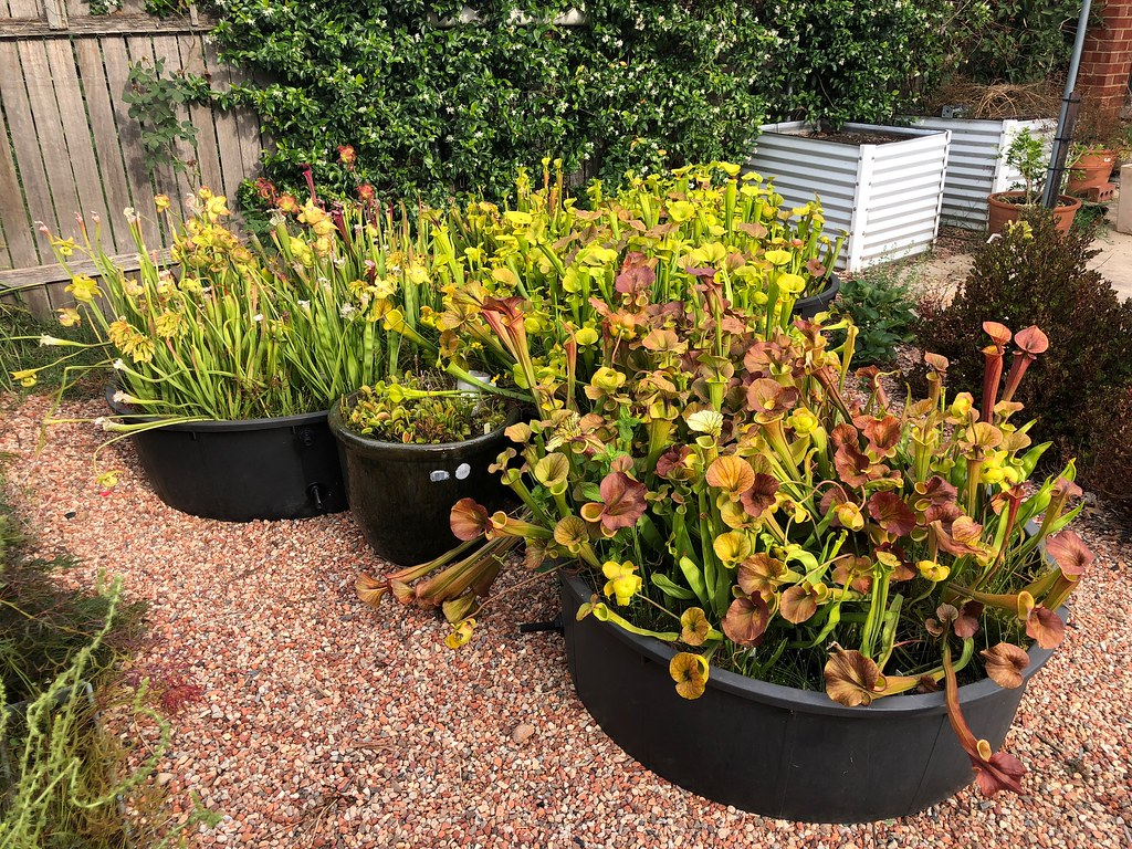 Sarracenia collection, midsummer 2018-2019 season