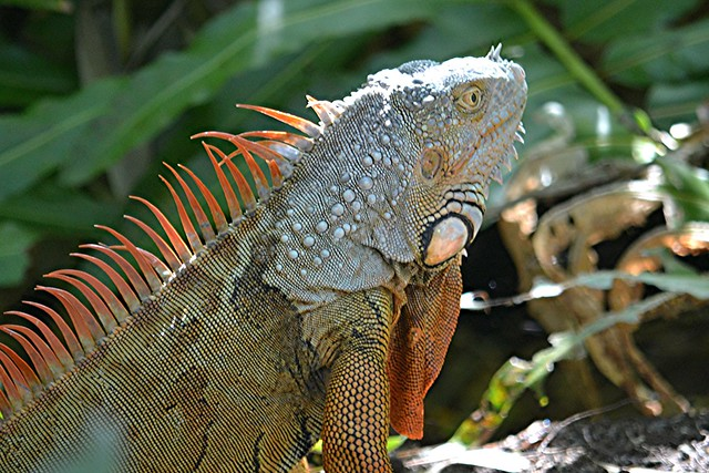 Sunlit Iguana in fern shaded wetland