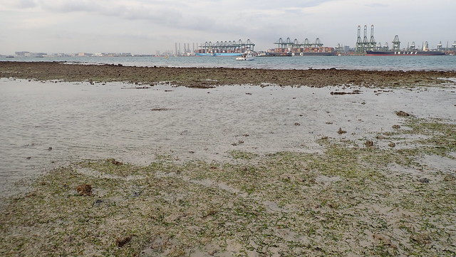 Possible dugong feeding trail in seagrass meadows, Cyrene Reef, Jan 2019