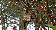 It's either a pheasant up a tree or Theresa May negotiating Brexit