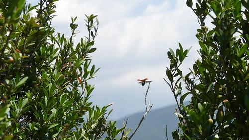 Hubschrabschrab -Lachnaia indet. im Flug