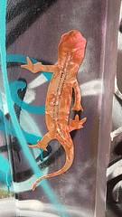 Street salamander