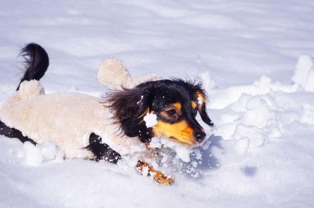 雪の中、暖かい時間に冬の散歩を楽しむ犬