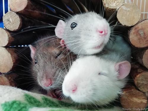 Rattie Kisses times three! 😘