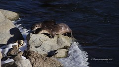 River Otters from Yellowstone National Park.