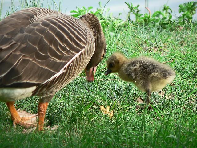 Greylag goose with gosling (1003273)