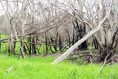 Burnt Acacia koa and grass regeneration after Mauna Loa Rd fire