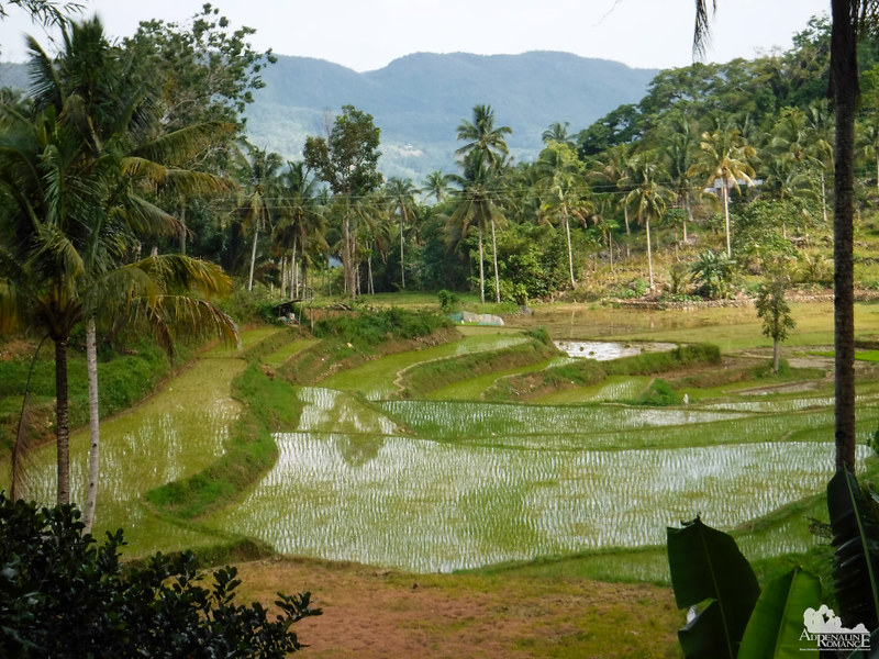 Ricefields in Dalaguete