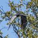 DSC4554 Pato aguja africano (Anhinga rufa) en el Delta del Okavango, Botsuana