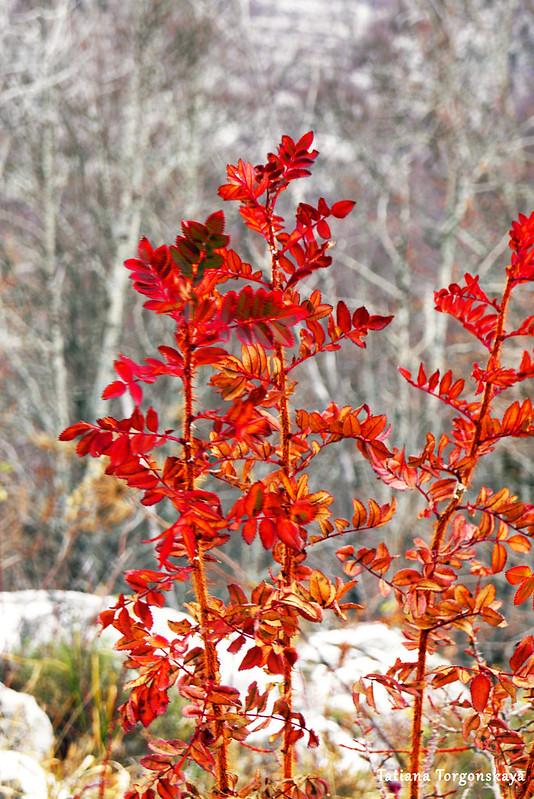 Растение с красными листьями