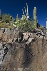 Hohokam Pictographs, saguaro cactus (Carnegiea gigantea), King Canyon, Tucson Mountain Section, Saguaro National Park, Pima County, Arizona