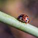 Autumn ladybird.