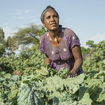 Woman working in a cabbage farm in Bochesa around Ziway in Ethiopia