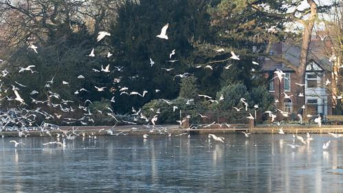 Gull gathering, frozen boating lake