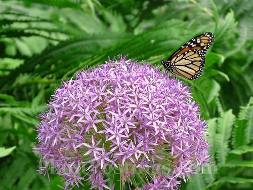 monarch 9