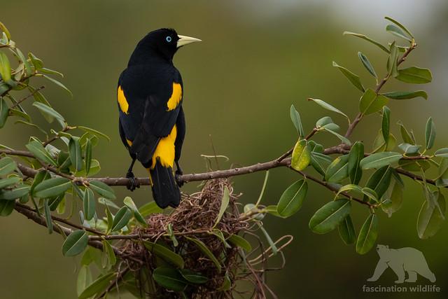 Yellow-rumped Cacique #Explored, Nikon D850, Sigma 150-600mm F5-6.3 DG OS HSM | S