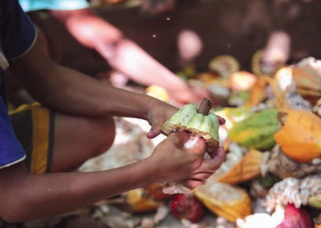 Cerca de 8 mil crianças brasileiras trabalham na produção de cacau, principalmente na retirada de sementes para fabricação do chocolate - Créditos: Divulgação MPT