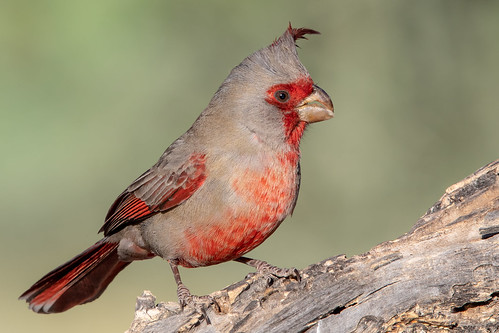 wood flickrexplore landscape sigma pyrrhuloxia canon ngc tucson 5dmarkiv male 150x600 macro feather mexicancardinal animal bird naturetop wildlife arizona eos bokeh flickr detail