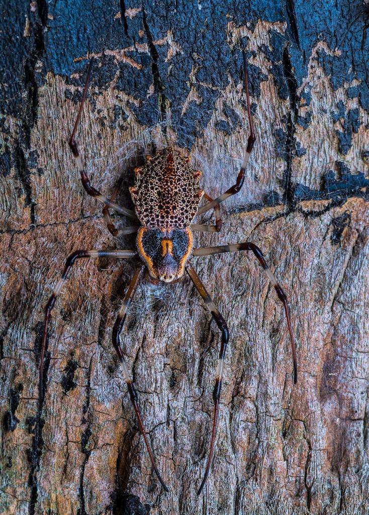 Tree trunk spider, Herennia sp