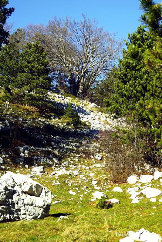Полянка с хвойными деревьями