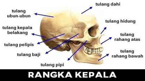 Kepala – Definisi, Fungsi, dan Penyakit Terkait