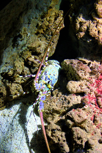 colourful lobsters in Gdynia Aquarium in Poland