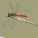 Swamp Flat-tail - Austrothemis nigrescens - Mundijong - Western Australia by spiderorchid