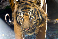 Manis The Tiger