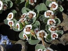 white margined sandmat, Chamaesyce albomarginata