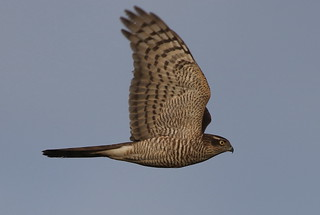 Sparrowhawk ( Accipiter nisus)