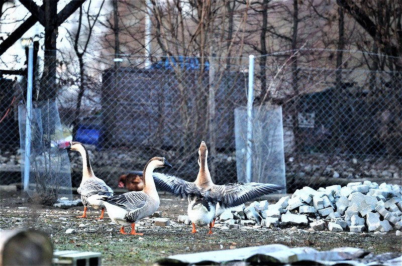 Geese 04.01 (3)