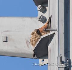 Faucon crécerelle Falco - tinnunculus - Common Kestrel : Michel NOËL © 2019-8746.jpg