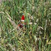 Where's Elf? #hideandseek #elfinthegrass #elfbehavingbadly Image description: toy elf in red clothing hiding in the long grass. Not a very clever elf as not very well camouflaged!