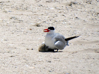 Caspian Tern with chick