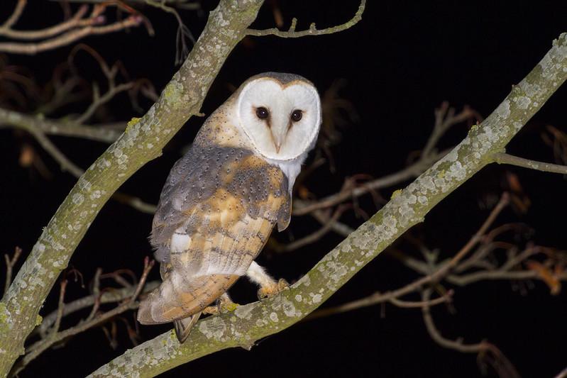 Barn Owl, Cardington, 6th Jan 2019