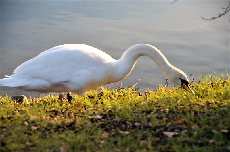 Swan 19.01 (18)