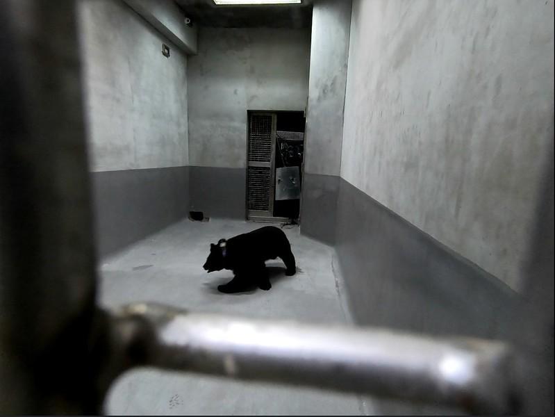 10月30日傍晚,黑熊順利移至臺北市立動物園檢疫籠舍留置觀察。(照片提供東勢林區管理處)