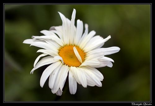 Marguerite commune (Leucanthemum vulgare)