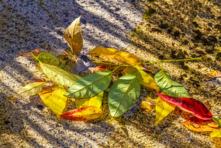 Autumn Leaves Afloat IMG_0096