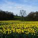 Gatten Valley Daffodil Field