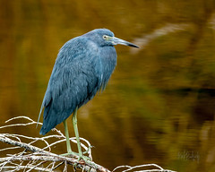 Little Blue Heron - Merritt Island Refuge