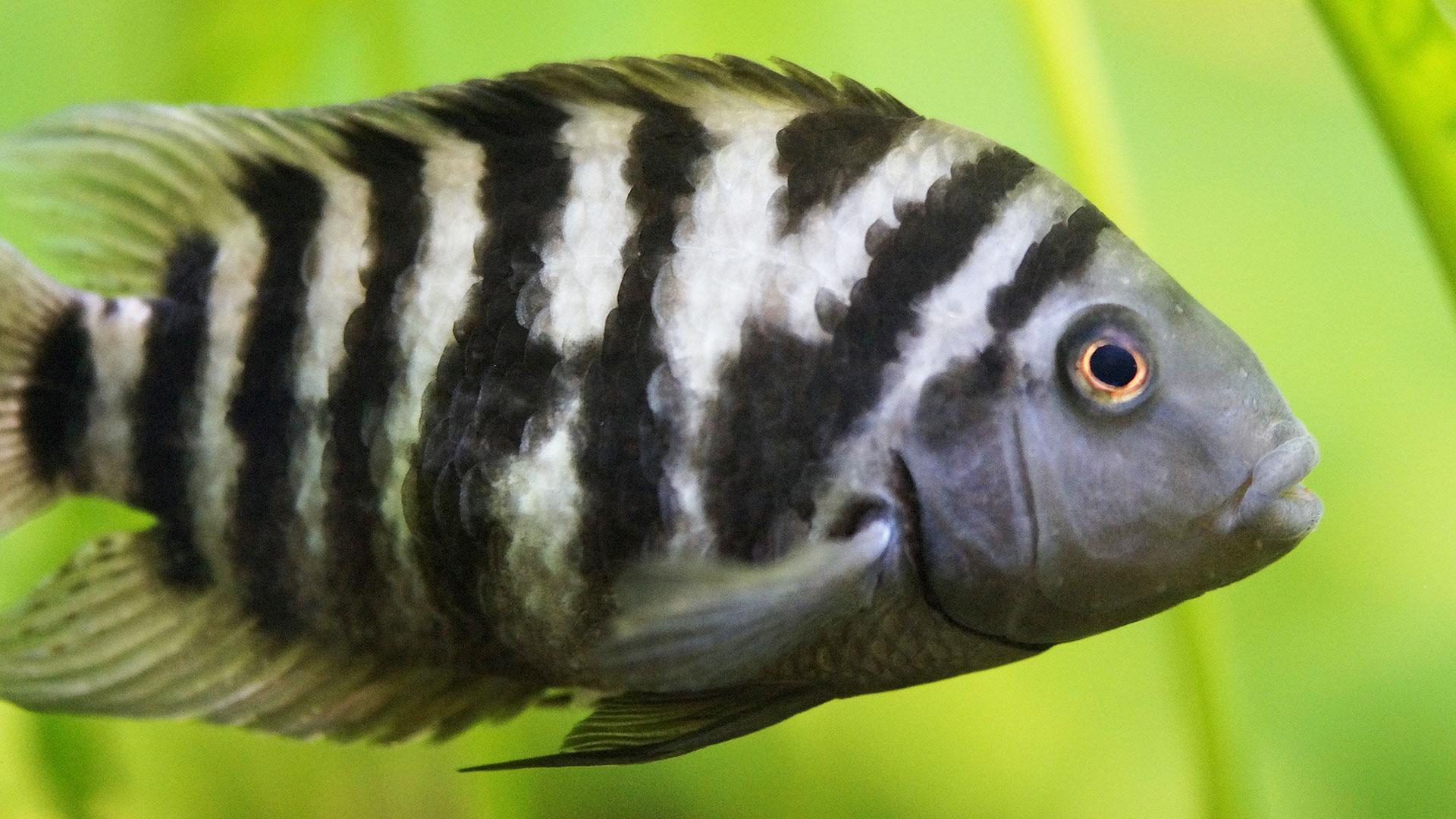 Zebra Chichlid fish - Perch