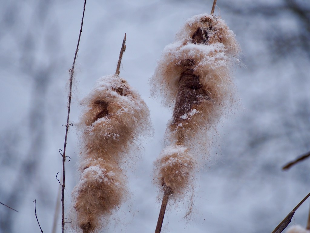 Cattails during a snowfall
