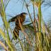 DSC4632 Cucal senegalés (Centropus senegalensis) en el Delta del Okavango, Botsuana