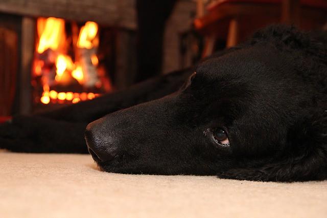 冬の散歩後暖かい部屋でゆっくりする犬