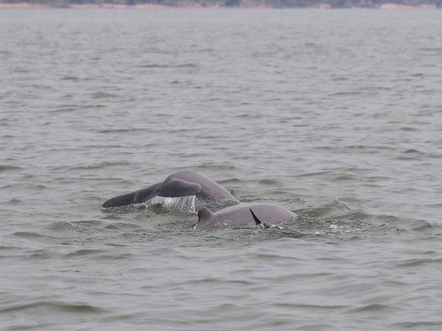 Irrawady dolphins, Canon EOS 80D, Canon EF 70-300mm f/4-5.6 IS USM