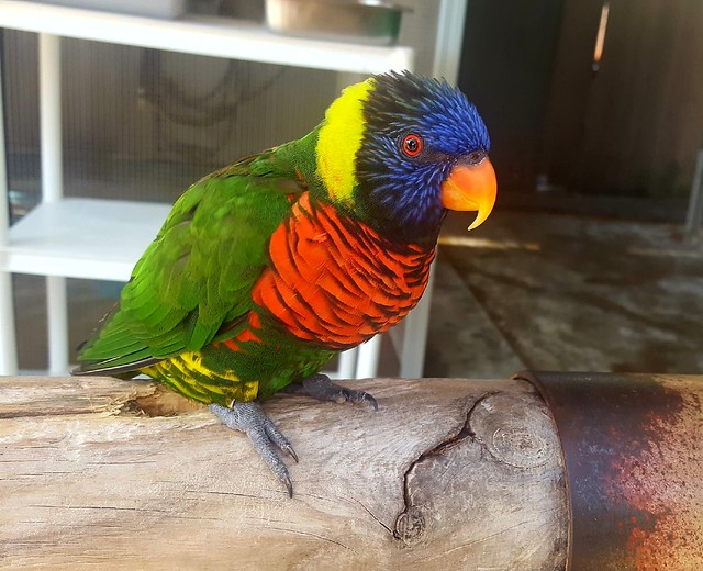Lorikeet parrot -- apparently they're common in Austrailia like pigeons are common in many places by bryandkeith on flickr