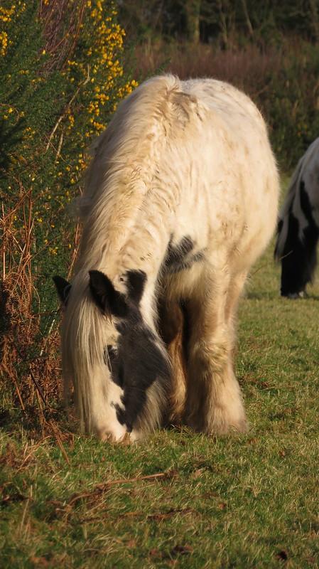Ponies at Hayne Cross